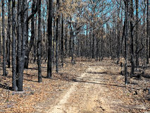 Road in burnt forest Stock Photography