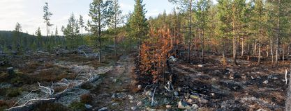 A Road Through Burned Taiga Forest Royalty Free Stock Photo