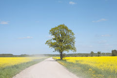 Road in the canola field. Royalty Free Stock Photography