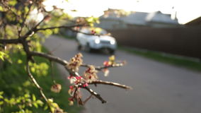 Road car branch nature. Cars on road with cherry blossoms stock video