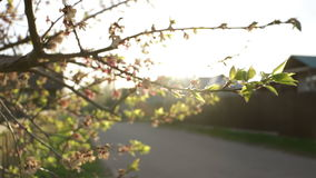 Road car branch nature. Cars on road with cherry blossoms stock video footage