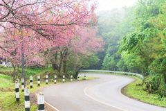 The road with cherry blossom tree Royalty Free Stock Photo