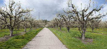 Road Through Cherry Orchard Royalty Free Stock Images