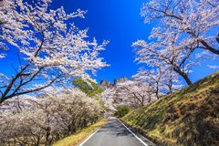 Road through the cherry tree Royalty Free Stock Photos