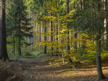 Road in colorful autumn deciduous beech tree and spruce tree for Stock Photography