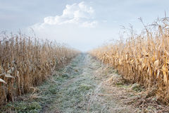 Road through Corn Field Royalty Free Stock Photo