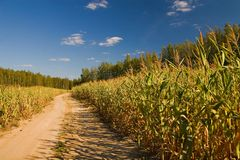 Road through corn field stock image