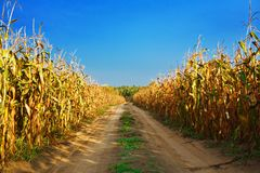 Road on the cornfield Stock Photography
