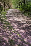 Road covered with cherry blossoms royalty free stock photography