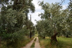 Road crossing olive trees field Stock Photos