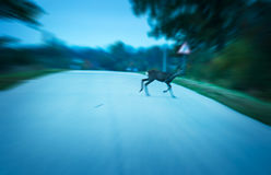 Road danger deer. Crossing a road at early morning or night royalty free stock photography