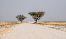 Seeking Shade. A road through a desert landscape in Namibia with Springbok and A Gemsbok seeking shade under the trees Stock Image