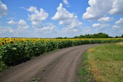 Road on edge of a field with blooming sunflower. Road on the edge of a field with blooming sunflower stock photos