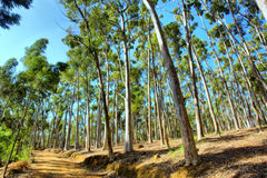 Road through eucalyptus forest Stock Photo