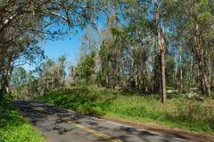 Road through an eucalyptus forest maui hawaii Stock Photo