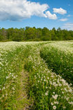 Road in the field with dandelions Royalty Free Stock Photography