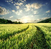 Road in field with green ears of wheat Royalty Free Stock Photos