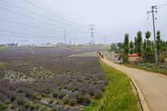 Road in field of lavender and verbenas Stock Photo
