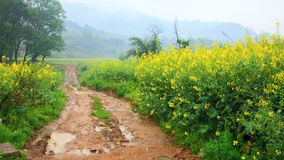 Road through field of Oilseed Stock Images