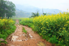 Road through field of Oilseed Royalty Free Stock Photos