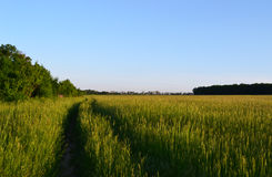 Road in the field. Of wheat, field near the forest Royalty Free Stock Photo