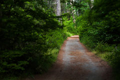 Road through the fir forest Royalty Free Stock Image