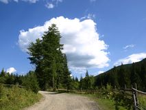 Road and firs Stock Image