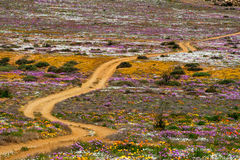 Road in flower field Stock Image
