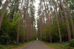 Road Through Forest. A narrow road parts a thick growth of trees Royalty Free Stock Photos
