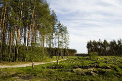 Road in forest. Blue sky, green pine, sunny royalty free stock photography