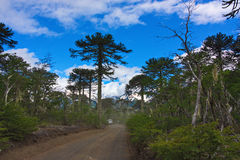 Road in the forest of araucarias. In Conguillio National Park in Chile Stock Image