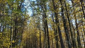 Road in forest. Asphalt road in forest with tall trees on autumn with blue sky stock footage