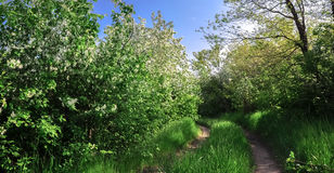 Road in the forest of blooming wild apple trees Stock Image
