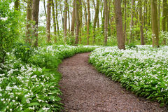 A road in the forest and the blooming wild garlic Royalty Free Stock Photos
