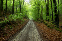 Road Through Forest. Lonely Road Through Forest Lined with Big Trees Stock Photography