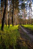 Road in the forest. Sandy road in the forest Royalty Free Stock Images