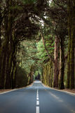 Road through forest. Straight road in Tenerife, Canary Islands,with central markings passing through a forest of tall mature trees with thick overhead canopy Royalty Free Stock Image