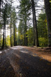 Road in forest with sunshine and shadow evergreen trees Stock Photography