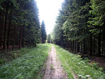 Road. Forest road among the tall trees Stock Image