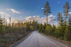 The road in the forest with young spruces. And tall pines against the blue sky in the warm colors of the setting sun royalty free stock photo