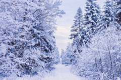 Road through frozen forest with snow. Royalty Free Stock Image