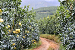 Road in garden of grapefruit. Garden of grapefruit with small road, shown as agriculture concept and growing environment of raw, fresh and healthy fruit Stock Photo