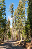 Road through the Giant Sequoias Forest. Sequoia National Forest Royalty Free Stock Image