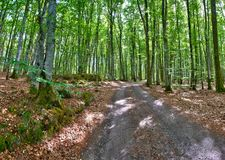 Swedish beech woodlands. A road going through Swedish beech woodlands stock photo