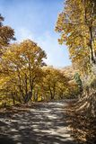 Chestnut tree under the autumn sun and a blue sky with clouds. Road between a golden-hued chestnut road Stock Image