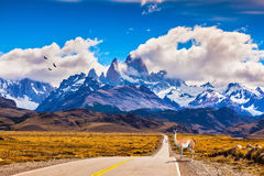 On the road is graceful guanaco. The highway crosses  Patagonia and leads to snow-capped peaks of Mount Fitzroy. On the side of road is graceful guanaco Royalty Free Stock Photo
