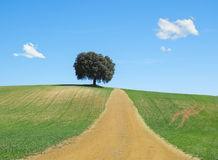 Road in a grain field with a tree Stock Image