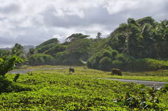 A road among green meadows. Dominica island. A road among green meadows at Londonderry bay on Dominica island, Lesser Antilles royalty free stock image