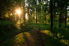 Road in green wild forest at sunset background Royalty Free Stock Photo