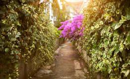 Road with growing Bougainvillea flowers at sunny day Royalty Free Stock Photos